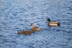 Female and Male Ducks with Ducklings. Swimming in a lake Stock Photos