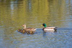 Female and Male Ducks with Ducklings. Swimming in a lake Royalty Free Stock Images