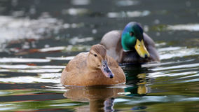 Female and male ducks Stock Images