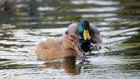 Female and male ducks Stock Photography