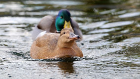 Female and male ducks Stock Photos