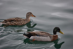 Female and male ducks on water surface. Female and male Mallard ducks swimming in calm water Stock Images