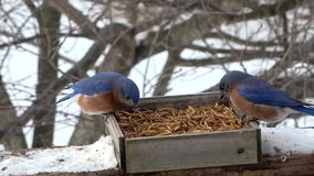 Female and Male Eastern Bluebird during winter stock video