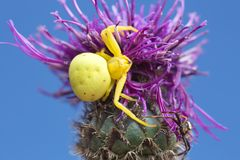 Female and male goldenrod crab-spider, Misumena vatia on thistle. Digital photo of a female and male goldenrod crab-spider, Misumena vatia on thistle. The male Stock Photo