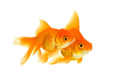 Female and the male of the goldfishes Royalty Free Stock Photography
