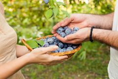 Basket full of plums. Female and male hands holding the freshly picked plums Stock Photography
