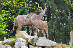 Female and male of kudu antelope Stock Images