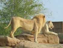Lion couple Royalty Free Stock Images