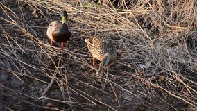 Female and male mallard duck couple looking for food. In spring time forest stock video footage