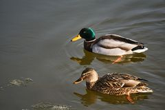 Female and Male mallard duck floating on the lake. In Poland Royalty Free Stock Photo