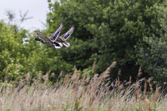 A female and male Mallard duck flying. A female and male Mallard duck, aka wild duck, & x28;Anas platyrhynchos& x29; flying, Wildfowl and Wetlands Trust, London Royalty Free Stock Photography