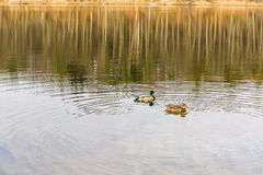 Female and male mallard duck. Female and male mallard duck on the lake Stock Photos