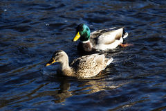 Female And Male Mallard Duck Swimming In American River Sacramen Stock Photos