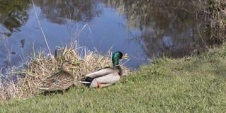 Female and male mallard on a stroll. A male and female mallard taking a stroll around the pond Stock Photo