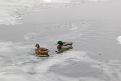 Female and male mallards in the middle of the young floating ice on the water surface. In winter Stock Images