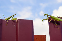 The female and the male praying mantis on a metal fence profile. Stock Photos