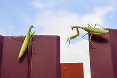The female and the male praying mantis on a metal fence profile. Royalty Free Stock Photography