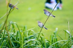 Female and male sparrows on a flower stem stock photos