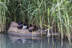 A female and male tufted duck sleeping. A female and male tufted duck & x28;Aythya fuligula& x29; sleeping, Wildfowl and Wetlands Trust, London Wetland Centre Royalty Free Stock Images
