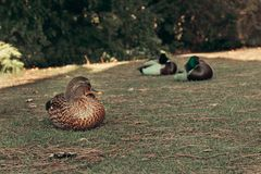 Female and male wild duck sleeping stock images