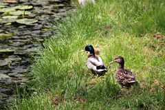 Wild ducks - duck family, duck couple. Female and male wild ducks in the grass heading to the water stock photos