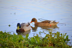 Female and male wild ducks Royalty Free Stock Photo