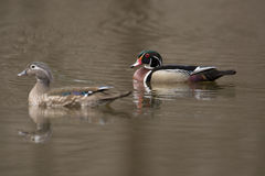 Female and male wood duck. Swimming in a small pond in the spring Stock Image