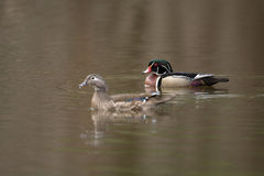 Female and male wood duck. Swimming in a small pond in the spring Stock Photos