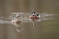 Female and male wood duck. Swimming in a small pond in the spring Stock Photography