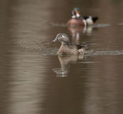 Female and male wood duck. Swimming in a small pond in the spring Stock Photo