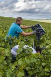 Female and Male Worker Champagne Harvest Verzy. Verzy, France - September 10, 2017: Harvest of Pinot Noir grapes in the Champagne region with hidden female royalty free stock image