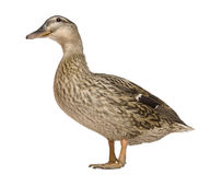 Female Mallard, 1 years old, standing. In front of white background Stock Images