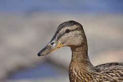 Female Mallard. Drops of water on the face of a female Mallard Stock Images