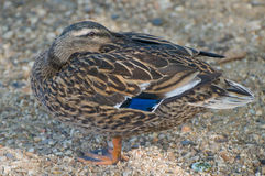 Female Mallard Royalty Free Stock Images
