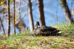 Female Mallard. Sleeping by a lake shoreline Stock Images