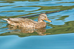 Female mallard Royalty Free Stock Image