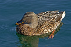 Female Mallard Stock Photo