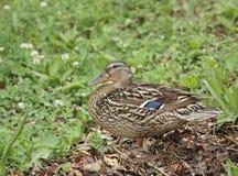Female Mallard (Anas platyrhnchos). Female mallard duck (anas platyrhnchos) in a field Royalty Free Stock Image