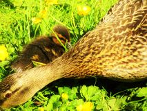 Mother Duck. Female Mallard Anas platyrhynchos with duckling foraging in grass and buttercups, Lightoaks Park, Salford, UK, May 2018 Royalty Free Stock Image