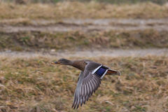 Female mallard Anas platyrhynchos in flight. Natural female mallard Anas platyrhynchos in flight Stock Photo