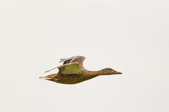 Female mallard (Anas platyrhynchos). Flying Stock Images