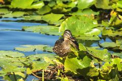 Female mallard-Anas platyrhynchos- front view Royalty Free Stock Images