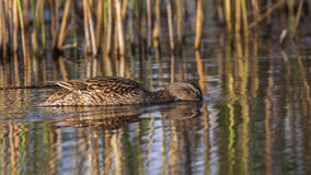 Female Mallard Stock Photography