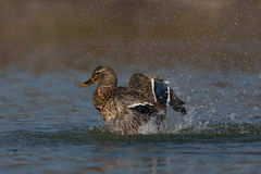 Female mallard (Anas platyrhynchos). During pluming and grooming Stock Image