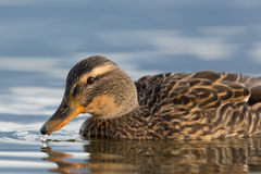 Female mallard (Anas platyrhynchos) Royalty Free Stock Photo