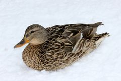 A female mallard Anas Platyrhynchos on the snow. A female mallard on the snow. Russia spring, March Royalty Free Stock Photo