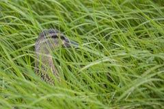 Female Mallard (Anas platyrhynchos) Royalty Free Stock Image