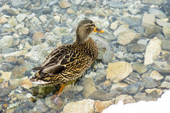 Female Mallard (anas platyrhynchos), standing in winter on the rocks in the unfrozen clean river Stock Photos