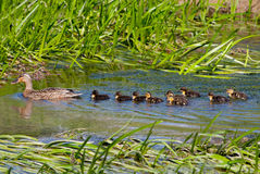 Ducks in a Row. Female Mallard (Anas platyrhynchos) with ten ducklings swimming in a stream Stock Photo
