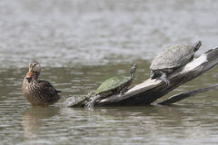 Female Mallard And Three Turtles - Texas Stock Photography